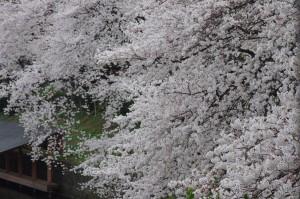 20130330千鳥ヶ淵上野公園04