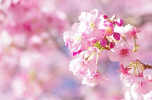河津桜まつり01