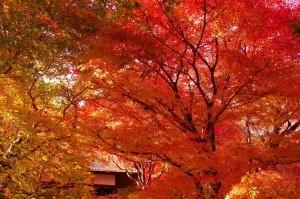 2014京都紅葉狩り14