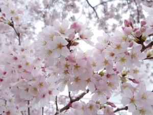 2016新川の桜06