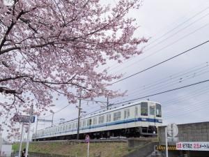 2016新川の桜05