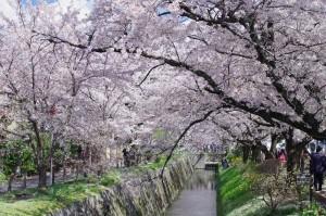 2014京都花見06