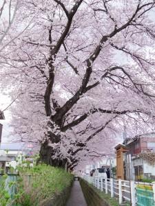 2016新川の桜08