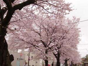 2016新川の桜03