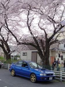 2016新川の桜10