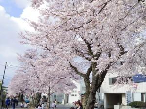 2016新川の桜09