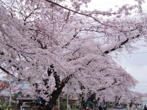 2016新川の桜04