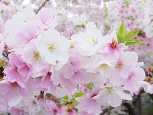 2016新川の桜07