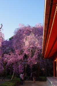 2014京都花見14