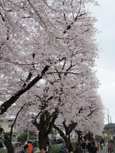 2016新川の桜02