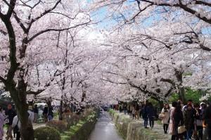 2014京都花見08