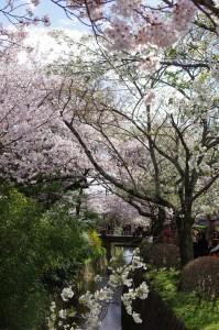 2014京都花見12