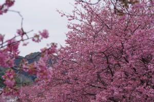 2013河津桜まつり02