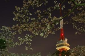 2013八幡山公園夜桜05