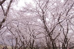 2013長野光林寺、八幡原史跡、小諸懐古園09