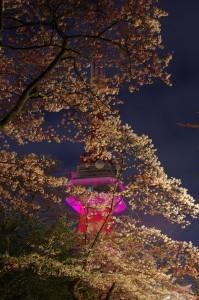 2013八幡山公園夜桜02