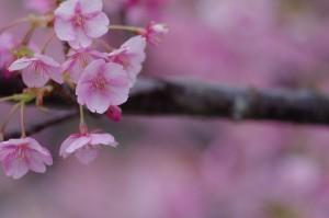 2013河津桜まつり01