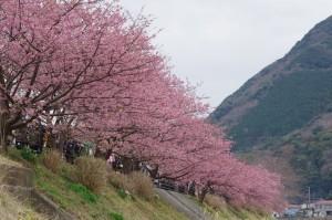 2013河津桜まつり03