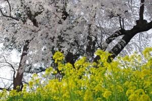 2013長野光林寺、八幡原史跡、小諸懐古園03