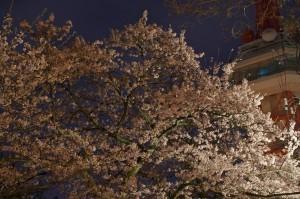 2013八幡山公園夜桜03