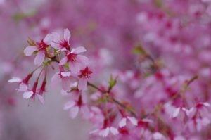 2012花見山公園02
