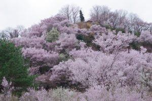2012花見山公園04