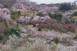 2012花見山公園05