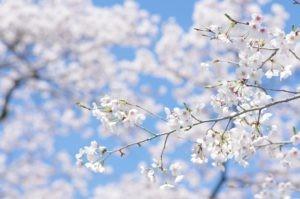 2012八幡山公園花見06