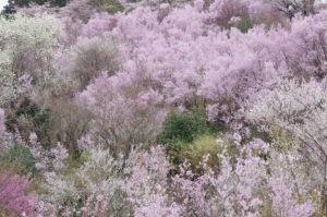 2012花見山公園03