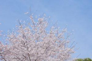 2012八幡山公園花見07